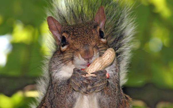 Фото обои морда, лапки, орех, белка