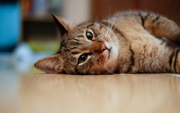 Фото обои кот, морда, пол, котэ, лежа
