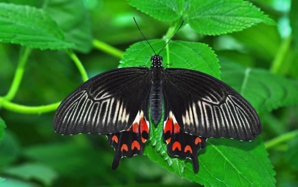 Фото обои лист, бабочка, насекомое, butterfly, insect