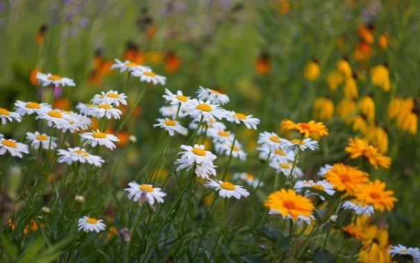 Фото обои поле, трава, природа, ромашки, луг