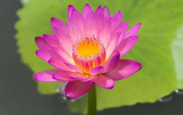 Фото обои вода, листок, водяная кувшинка