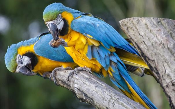 Фото обои птица, ветка, попугай, пара