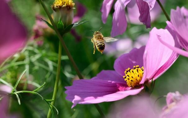 Фото обои цветы, насекомое, розовые, шмель, космея