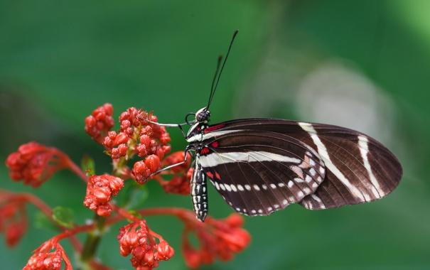 Фото обои цветок, бабочка, растение, крылья, насекомое, мотылек