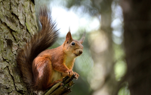 Фото обои природа, дерево, животное, белка, ствол, грызун