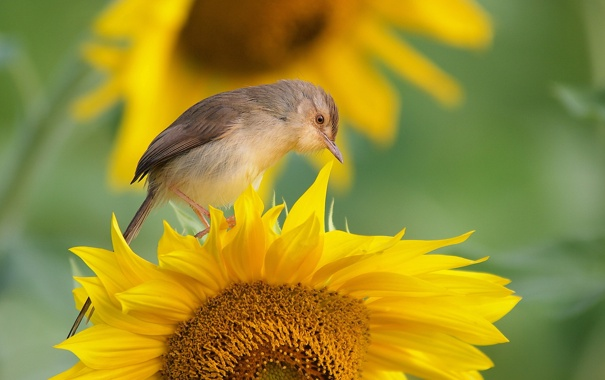 Фото обои фон, птица, подсолнух