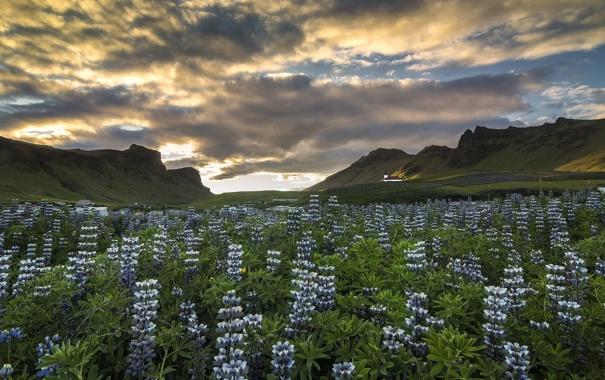 Фото обои цветы, горы, луг, Исландия, Iceland, люпины, Вик