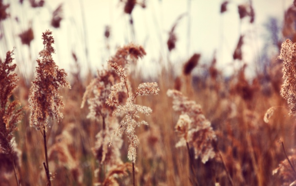 Фото обои природа, ветер, день, камыш