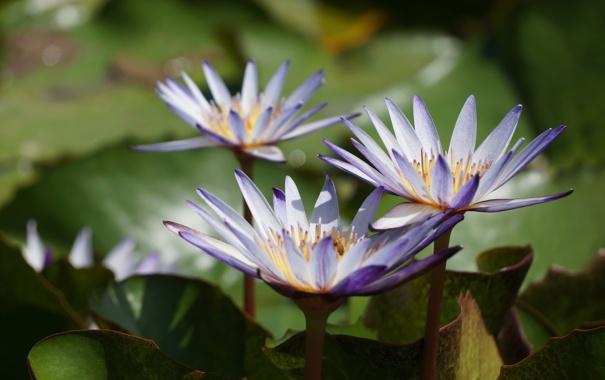 Фото обои листья, вода, лепестки, цветение, водяные лилии, водоем, цветки
