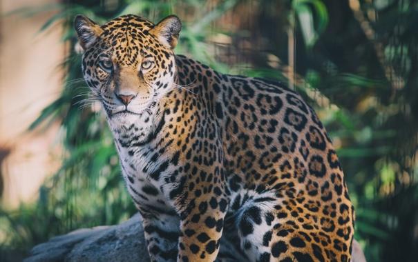 Фото обои дикая кошка, морда, хищник, сидит, ягуар