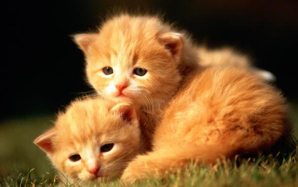 Фото обои кот, котята, трава, котенок, cat, рыжий, кошка