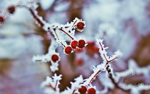 Фото обои рябина, размытость, Christina Manchenko, мороз, иней