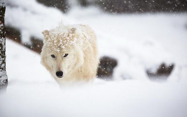 Фото обои зима, снег, Arctic wolf