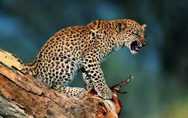Фото обои котенок, Леопард, коряга, детеныш, недовольство, солнечный свет, возмущение