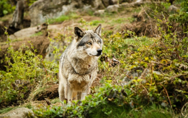 Фото обои взгляд, животное, волк, хищник
