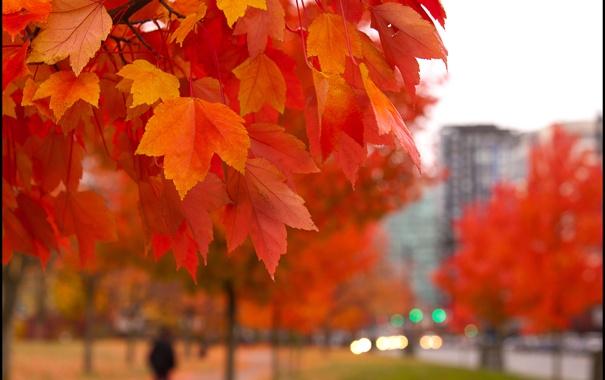 Фото обои листья, парк, ветка, кленовые, осенние