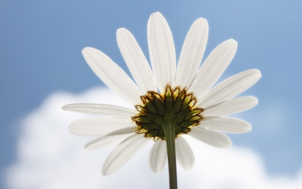 Фото обои голубое, ромашки, цветы