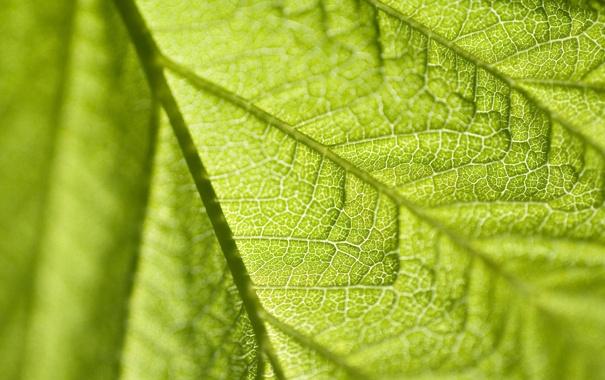Фото обои зелень, макро, лист