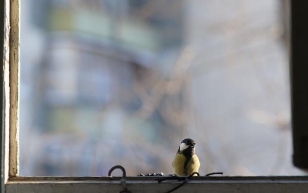 Фото обои окно, птичка, гвоздь, синица
