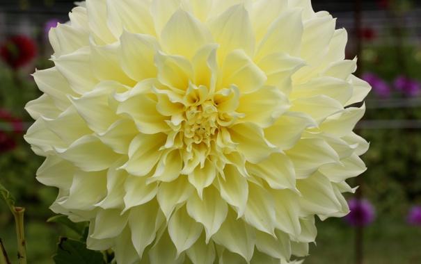 Фото обои белый, лепестки, бутон, цветение, георгин
