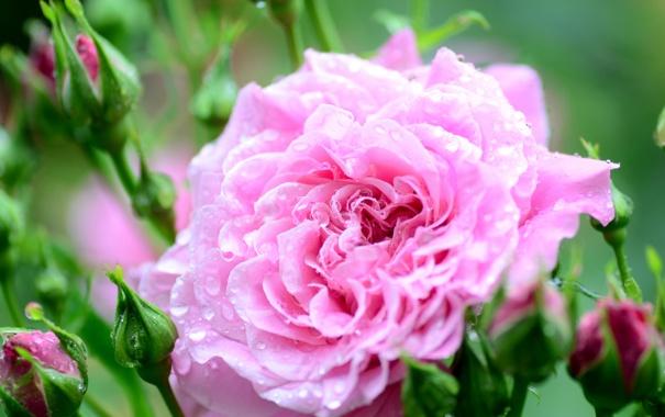 Фото обои цветок, капельки, роза, цветение, росинки