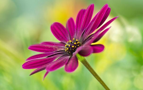 Фото обои цветок, природа, растение, лепестки, стебель