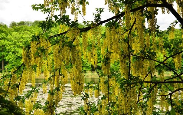 Фото обои green, tree, plant, green fruits, yellow
