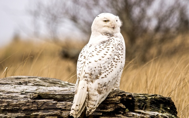 Фото обои сова, перья, белая, смотрит