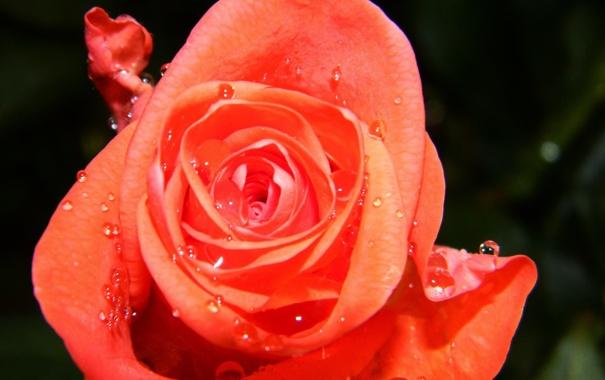 Фото обои цветок, роза, капля