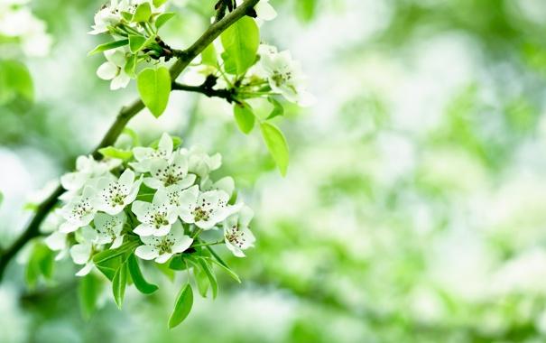 Фото обои листья, цветы, ветки, яблоня