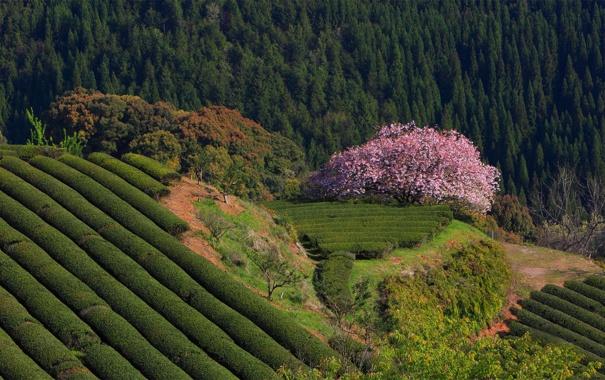 Фото обои лес, природа, Япония, сакура, чайные плантации