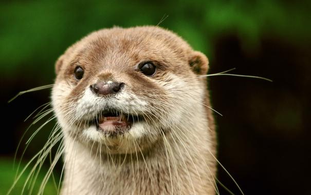 Фото обои фон, мордочка, Выдра, Otter