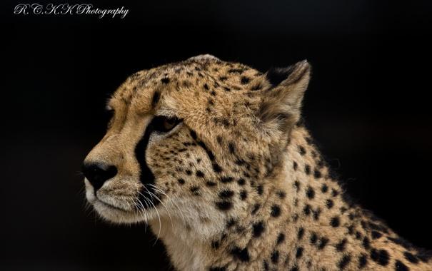 Фото обои морда, хищник, гепард, профиль
