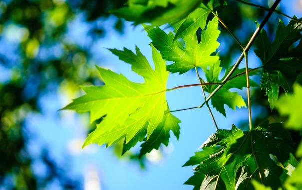 Фото обои листья, небо, макро, клен