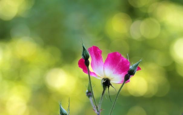 Фото обои зелень, цветок, макро, свет, блики, фон, розовый
