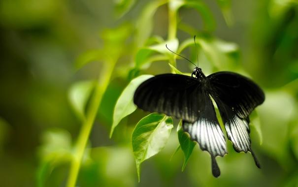 Фото обои чёрная, black and green, бабочька