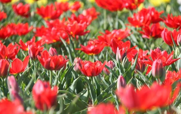 Фото обои тюльпаны, клумба, красные тюльпаны