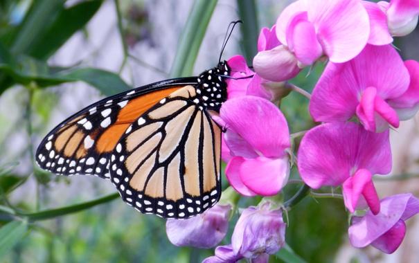 Фото обои цветок, природа, бабочка, мотылек
