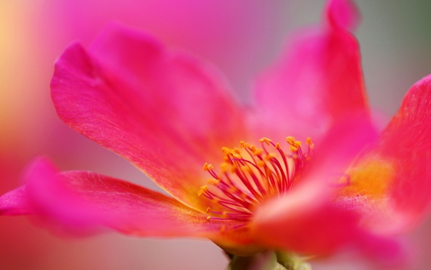 Фото обои макро, розовая, роза, шиповник