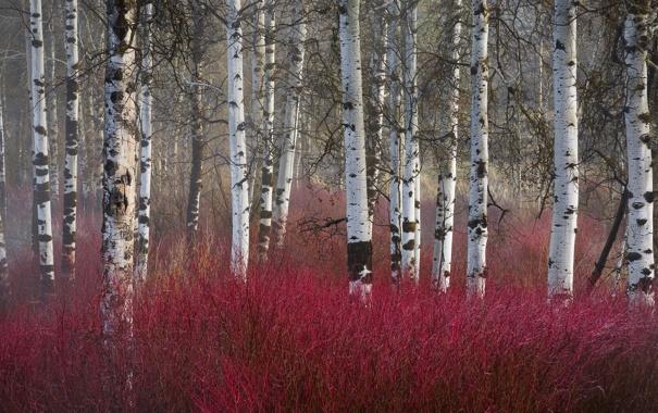 Фото обои осень, лес, березы