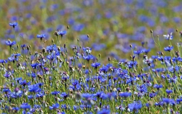 Фото обои лето, трава, луг, васильки