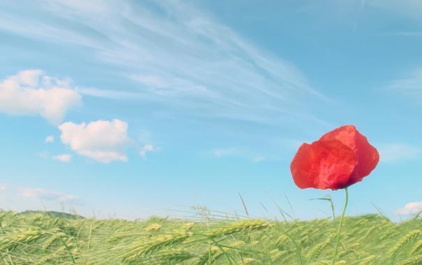 Фото обои колосья, небо, мак, поле, пшеница, красный