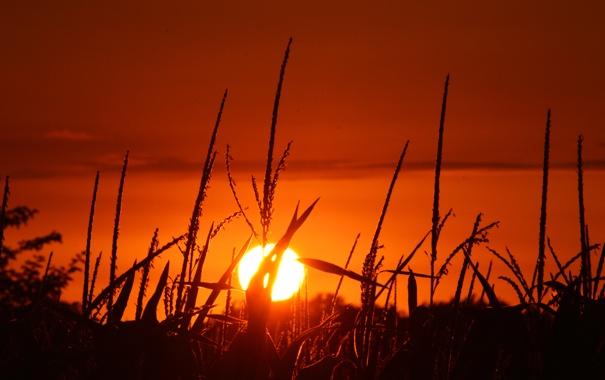 Фото обои поле, небо, солнце, закат, кукуруза