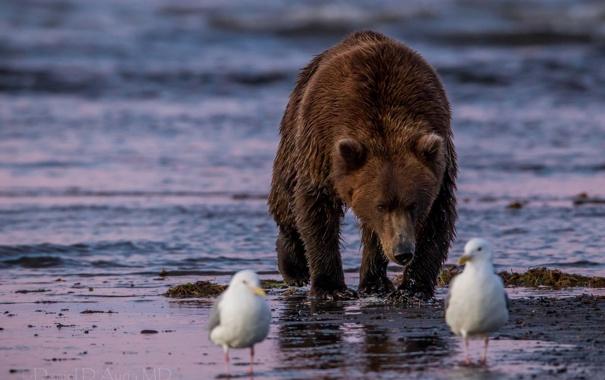 Фото обои птицы, чайки, медведь