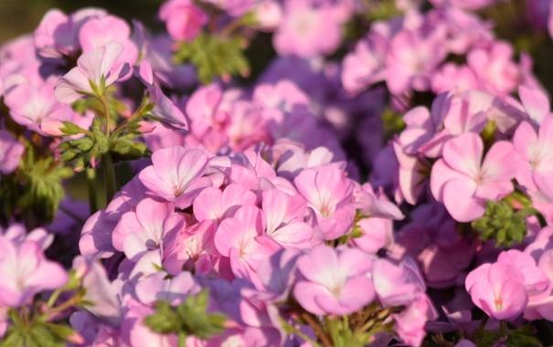 Фото обои нежность, лепестки, цветение, цветки, герань