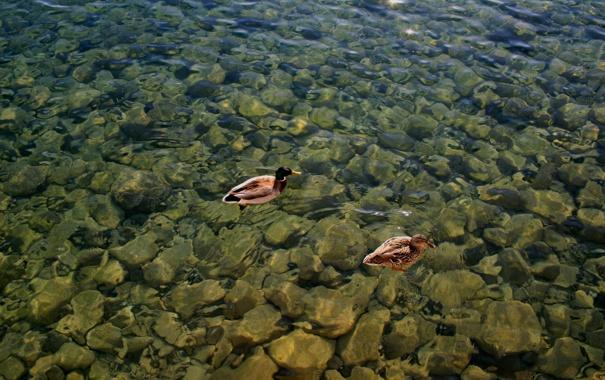 Фото обои вода, птицы, озеро, утки