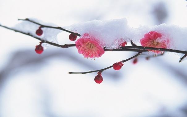 Фото обои снег, цветы, вишня, ветка, лепестки, сакура