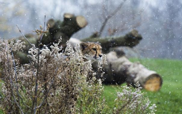 Фото обои хищник, гепард, маскировка, недовольный, дикая кошка, снегопад, кустарник