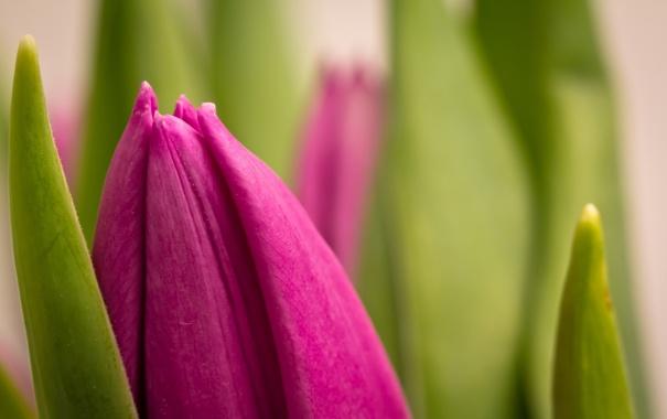 Фото обои лето, природа, тюльпан