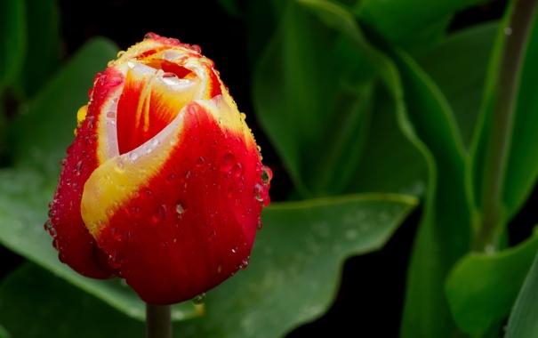 Фото обои зелень, цветок, листья, капли, желтый, красный, природа